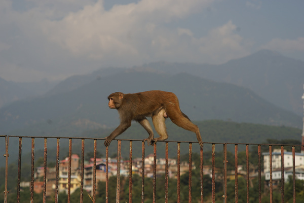 Monkey in India in an urban setting.